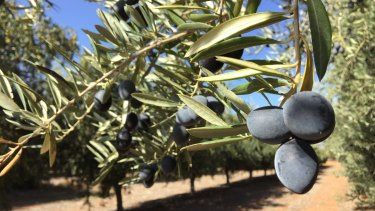Olive oil harvesting has begun at Cobram Estate Groves in Boundary Bend, Victoria.