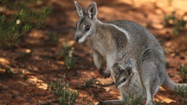 Improved: The rare bridled nailtail wallaby.