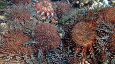 The crown-of-thorns  starfish preys on coral and is responsible for destroying up to 40 per cent of the Great Barrier Reef.