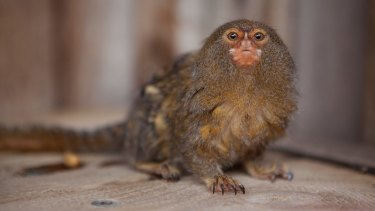 Gomez, a 10-year-old pygmy marmoset stolen from Symbio Zoo, has been found safe and well.