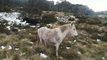 Brumbies in the high grasslands near Kiandra in the Snowy Mountains.