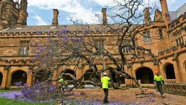 Workers clear away the uprooted jacaranda tree inside the University of Sydney quadrangle.