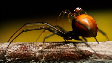 A male redback spider climbs on the back of a female before mating at Taronga Zoo.