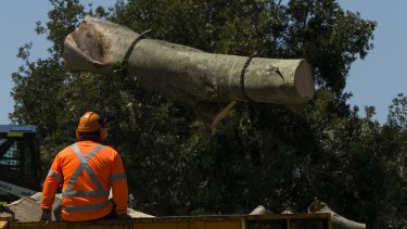Trees being cut down on Alison Road in Randwick in order to extend the Light Rail.