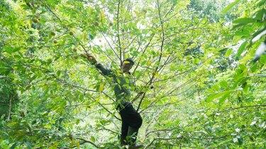 A farmer harvests nutmeg on the tiny island of Run.