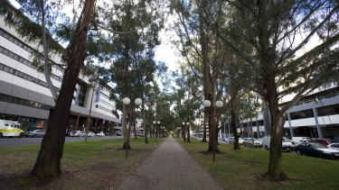 Trees along Canberra's Northbourne Avenue