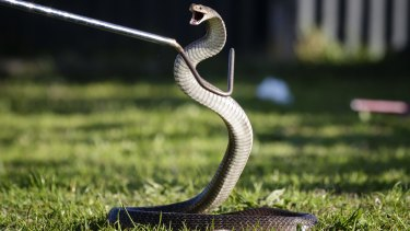 The man was believed to have been bitten by a brown snake.
