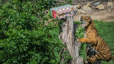 Aceh the Sumatran tiger easily finds his present, hidden in his enclosure at the Canberra zoo on Thursday.