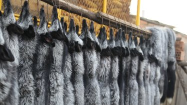 And all for this: Rows of pelts at a fur farm.