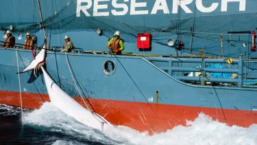 A whale is brought in with harpoons by a Japanese vessel in 2013.