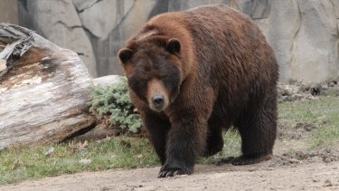A bear in captivity.