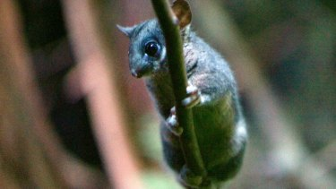 A Leadbeater's possum, which Zoos Victoria says will become extinct unless logging in Victoria's central highlands decreases.