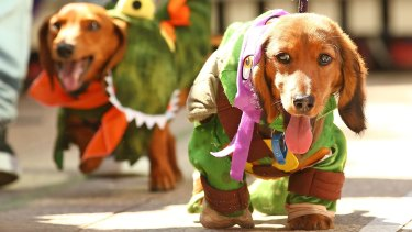 Mini dachshunds compete in the Inaugural Best Dressed Dachshund competition.
