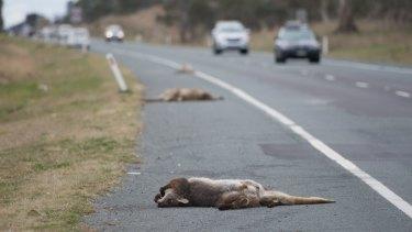 Kangaroo carcasses line the Monaro Highway towards Michelago.