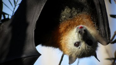 The grey-headed flying fox travels between cities to source seasonal food such as fruit and nectar.