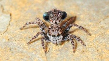 Maratus sapphirus was found in the Sapphire Coast of NSW.