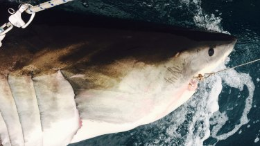 A white shark caught on a smart drumline, tagged and released near Evans Head.