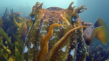 A giant cuttlefish off Terrigal, NSW.