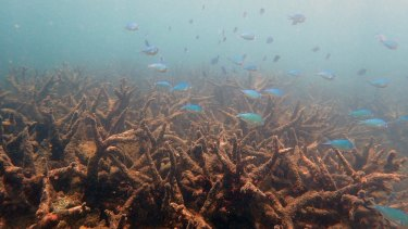 Staghorn corals killed by bleaching at Bourke Reef, north of Port Douglas.