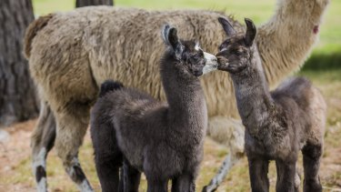 Cuddly llamas.