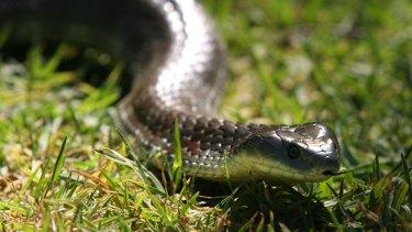 A tiger snake bit Fremantle resident Jorji Harper on the leg last month, setting off a debilitating delayed reaction.