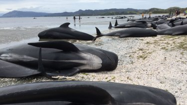 Rescuers estimate it is the largest mass beaching in NZ history.
