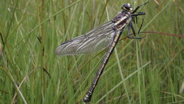 Omitted: Commissioners noted impacts on the habitat of the endangered giant dragonfly were not included in the risk assessment made by proponents of a mine.