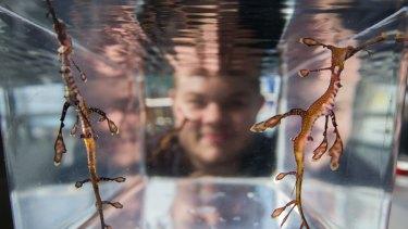 Two of the weedy sea dragon fry with senior assistant aquarist Simon Claridge.