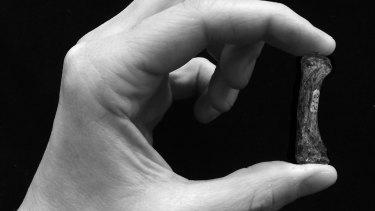 Precision grip: a modern human grasps a bone from an Australopithecus africanus' thumb.