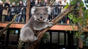 Audrey the koala at Healesville Sanctuary's new enclosure.