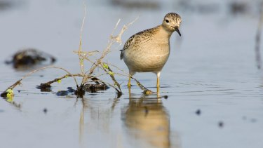 The sex life of the buff-breasted sandpiper is livelier than at first blush.