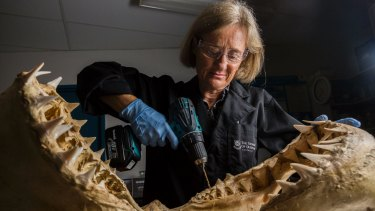 Professor Jenny Ovenden extracting DNA from the jaw of a juvenile female white shark.