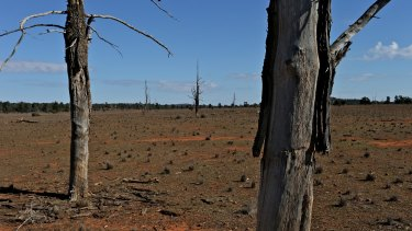 Ringbarked trees on a property near Cobar, north-western NSW.