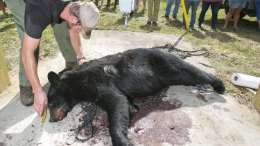 Florida Fish and Wildlife Conservation Commission biologist Wade Brenner takes measurements of a black bear  in Marion County, Florida, on Saturday.