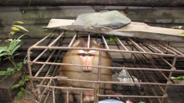 A Pig-tailed macaque caged in a local restaurant.