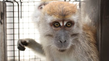 A macaque used in an experiment, in a photo taken from a Cruelty Free International investigation.