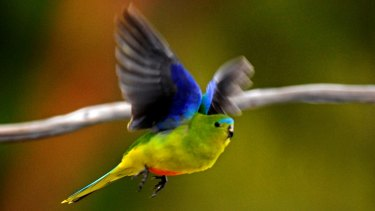 The highly endangered orange-bellied parrot.