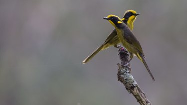 Zoos Victoria released 18 critically endangered captive-bred Helmeted Honeyeaters into their only viable habitat on the doorstep of Melbourne.