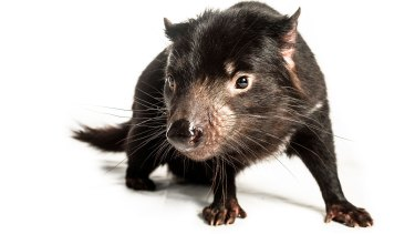 A female Tasmanian devil at Trowunna Wildlife Park, in Mole Creek, Tasmania.