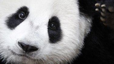 The giant panda is no longer considered endangered.