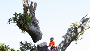 Tree loppers cut down an Anzac Parade Moreton Bay fig tree in May to make room for the light rail.