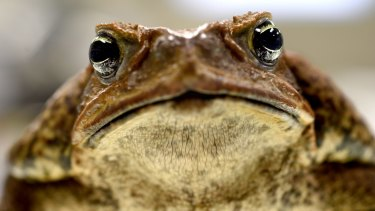 Professor Rick Shine's cane toad, Galadriel.