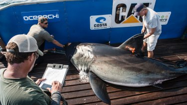 A file photo of a shark being tagged by OCEARCH.