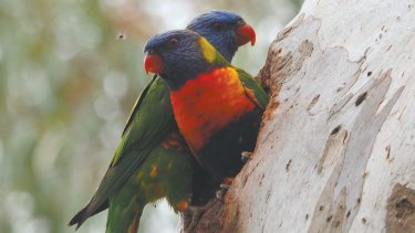 These rainbow lorikeets feature in the calendar.