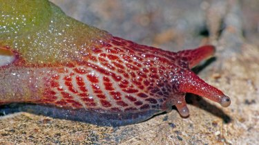 The red head and foot of Attenborougharion rubicundus is in stark contrast to its green body.