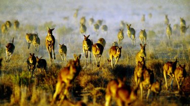 Kangaroos in plague proportions in drought-ravaged Queensland are increasingly invading towns in search of food and water.