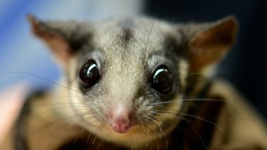 The Leadbeater's possum, which environmentalists say is at risk of extinction from logging.