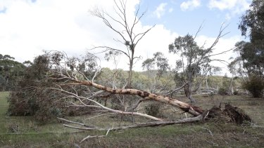 Trees knocked over by storm along Daniel Lane in Forbes Creek.