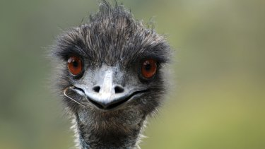 Last year, 47,000 native animals were killed in NSW by property owners using a 's121 licence', including 315 emu.