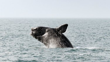 Under threat: The northern right whale.